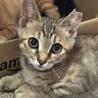 TNR現場より保護猫 薄茶白♀