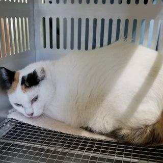 珍しいガラのミケの成猫♡慣れてます!