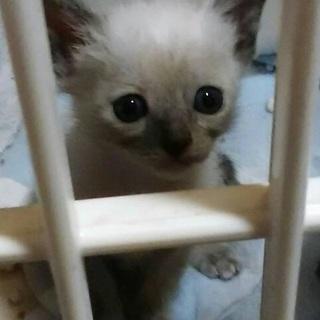 ☆保健所からのレスキューシャムMIXの子猫 ☆