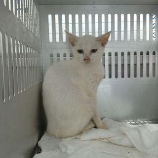 生後3ヶ月~4ヶ月の真っ白い猫。期限8/18朝一迄