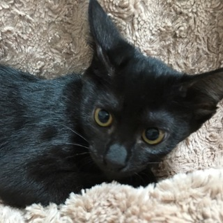 癒しの黒猫キーちゃん☆ワクチン済み