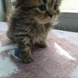 長毛スコティッシュストレート子猫