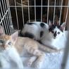 2匹の兄妹猫の里親募集
