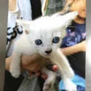 シャム系子猫の里親募集