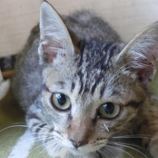 キジの仔猫3ヶ月ぐらい保護しました。