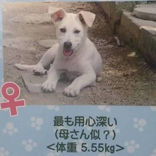 甘えん坊な子犬ホワイトちゃん(U^ω^)