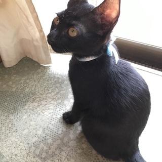 ジジみたいな子猫♂(推定2ヶ月)の里親募集