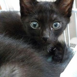 おっとりマイペースな黒猫オス3ヶ月