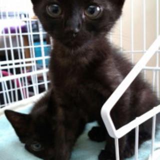天真爛漫!ヒザ好きな黒猫、オス3ヶ月