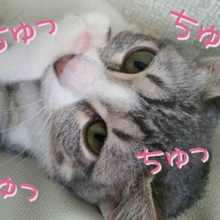 なつっこい、アメショー風の猫ちゃんです☆
