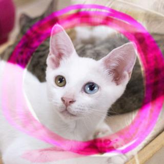 生後3ヶ月♡オッドアイ白猫ステラ