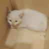 白猫 福ちゃん