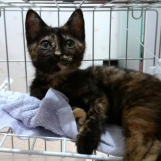 オメメまん丸可愛いサビ猫、メス3ヵ月半