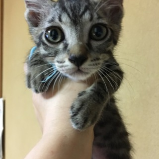 キジトラの子猫タイム♂