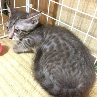 チャコールグレーのキジトラの子猫シナモン♀