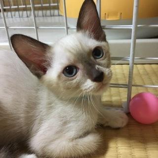 シャムミックスの子猫オリーブ♀