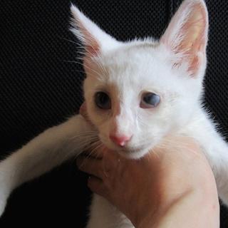 【広島県三原市】白い子猫