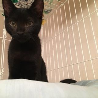 黒の子猫の里親募集