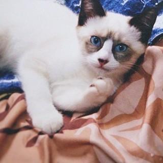 ふわふわシャムMIX★ブルーアイの女の子