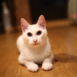 【琥珀】人大好き!すりすり白猫くん