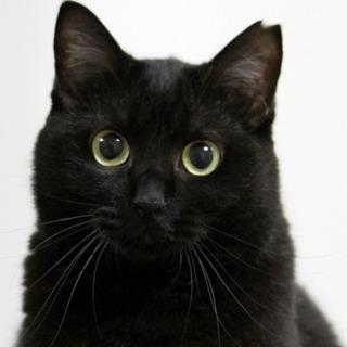 可憐でモフモフ! 麗しの美黒猫・レイン