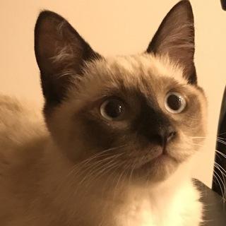 シャムミックスの子猫