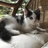 メインクーン女の子♡子猫