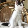 メインクーン女の子♡子猫 サムネイル3