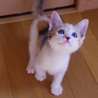 賢い三毛子猫くれはちゃん