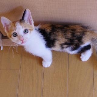 可愛い三毛子猫ことはちゃん