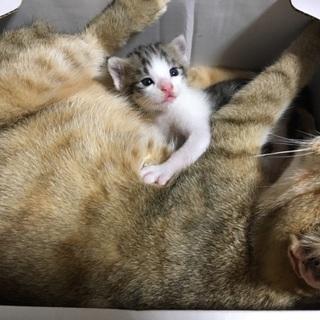 茶白♀生後1ヶ月
