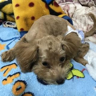 トイプー♀生後5ヶ月