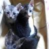 【募集中】サバの子猫 3匹 可愛いです
