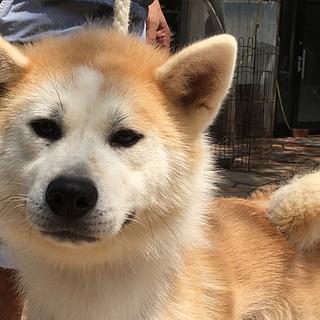 秋田犬の赤毛メス 1歳1ヵ月