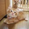 おっとり長毛茶トラ子猫♪