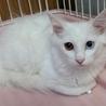 白猫ちゃん長毛