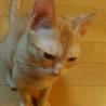 元気いっぱい茶トラ男の子 シノ サムネイル5
