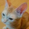 元気いっぱい茶トラ男の子 シノ サムネイル6