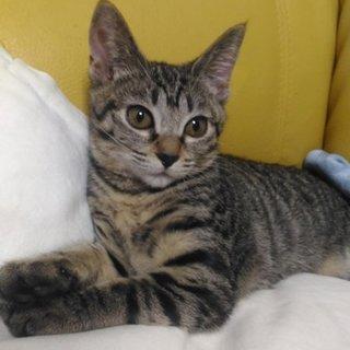 にくきゅうチューチュー癖のある可愛いメス子猫