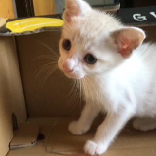 人懐っこい 生後1ヶ月半の仔猫です