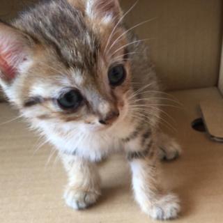 愛くるしい生後1ヶ月半の仔猫です