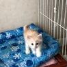 メープルちゃん 美猫の女の子です。