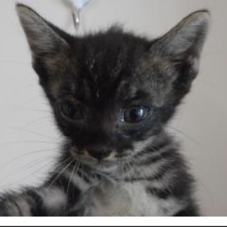 里親さんを待っています。子猫♀黒白