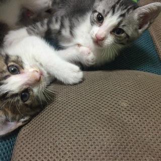 生後1ヶ月半~2ヶ月ぐらいの子猫2匹