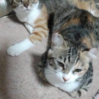 生後6か月の三毛猫2匹です。