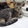 キジトラの子猫 生後3か月男の子