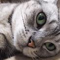 ◎まんまる美猫 穏やかなアメショさん◎