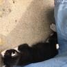 子猫ちゃんの里親募集中!2ヶ月! サムネイル4