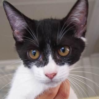 譲渡候補猫のご紹介