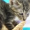 遊び盛りのキジトラ子猫マイク君 サムネイル3